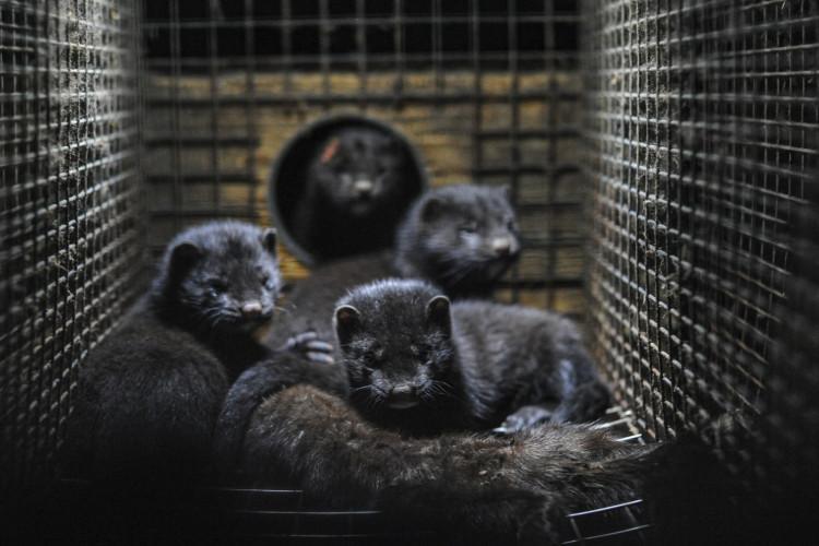 Aflivning af mink: Panthavers retsstilling ved ekspropriation