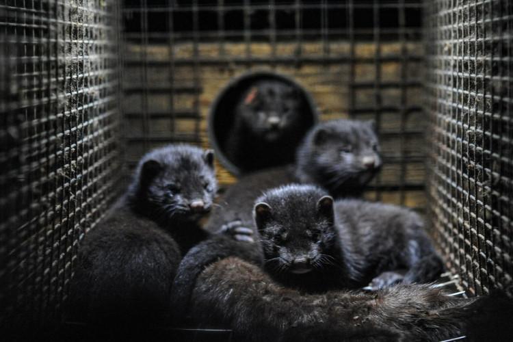 Politisk aftale om erstatning til minkbranchen på plads
